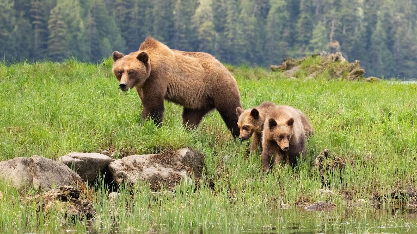 The call of the wild: searching for grizzly bears and whales on British Columbia's Vancouver Island