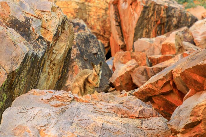 The short-eared, black-footed rock-wallabies are commonly found in the West MacDonnell Ranges, just a short drive ...