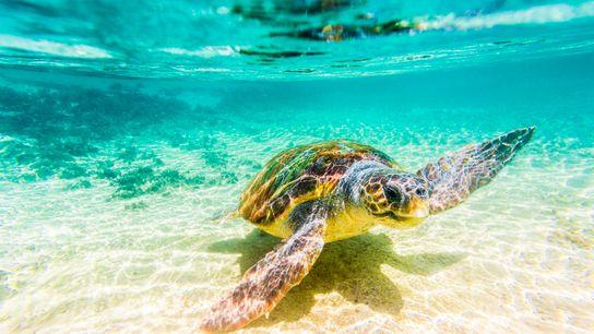 A Loggerhead turtle (Caretta caretta) at Elafonissos island, bay of Laconia, Peloponnese, Greece