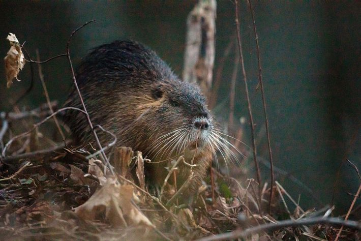 Nutria were once imported to the U.S. for their fur. Now, loose in the wild, the ...