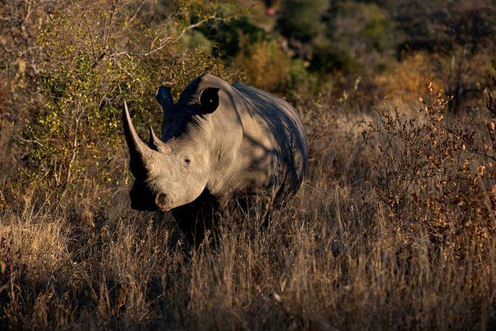 kruger-poaching-rhino