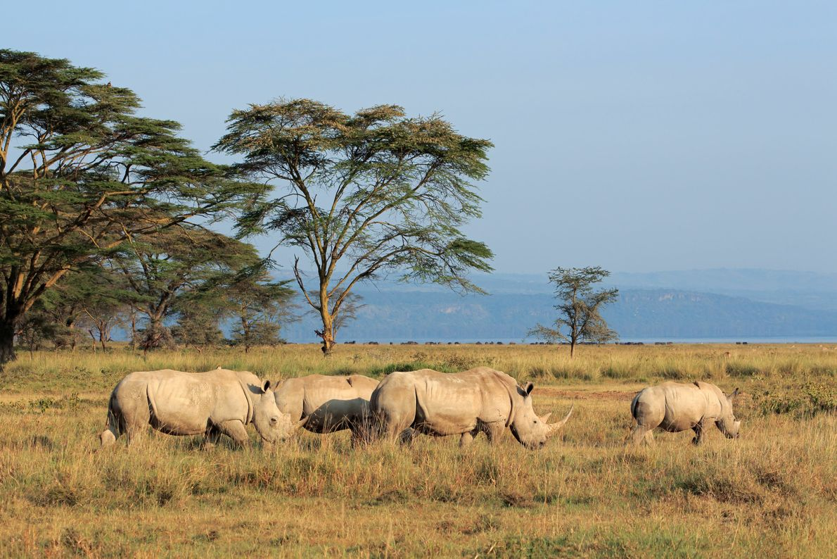 Lake Nakuru National Park is home to Kenya's first rhino sanctuary, which opened in the 1980s ...