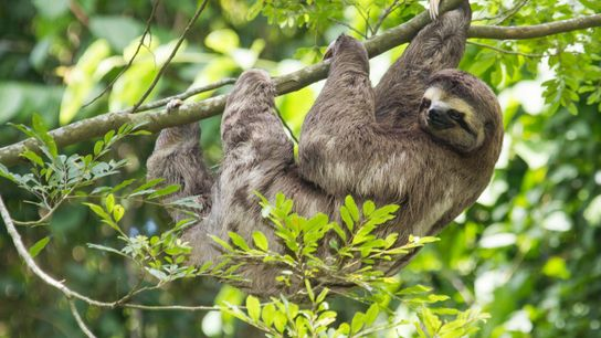 World Animal Protection estimatesthat thousands of sloths aresnatched from the wildevery year to service thetourism industry.