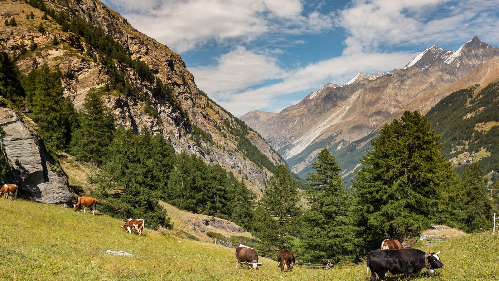 The mountains around Zermatt are renowned for skiing, climbing and hiking, with cattle grazing on the Alpine ...