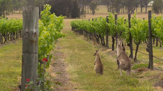 Hunter Valley in New South Wales, one of Australia's major wine regions.