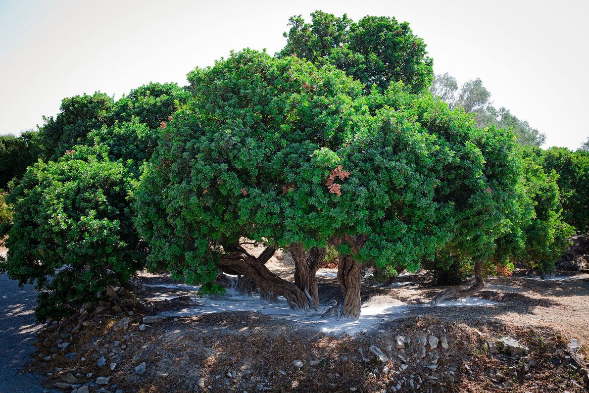 Chios is best known for its mastic trees, which produce a unique natural resin. These small ...