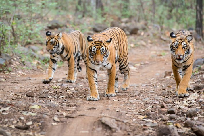 Explore India by train, stopping atRanthambore National Park in Rajasthan for an ethical tiger safari, staying ...