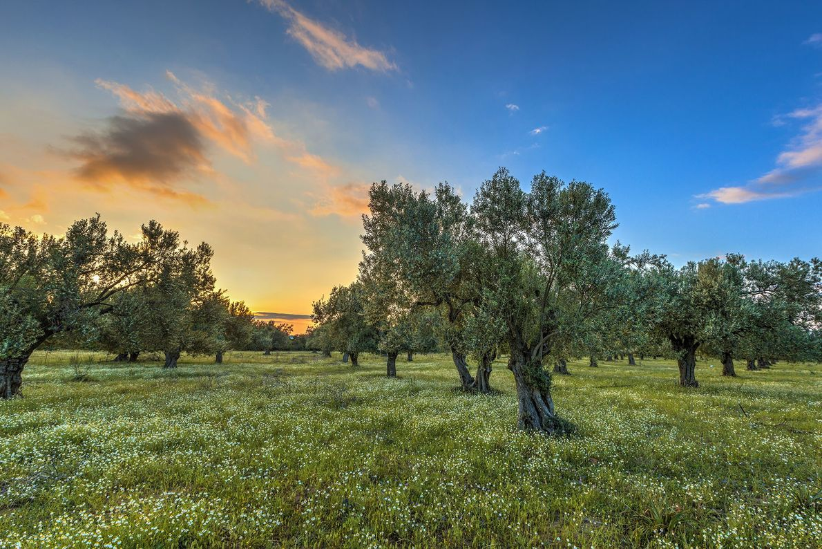 With the highest number of olive trees per capita in the world, Lesvos, Greece's third-largest island, ...