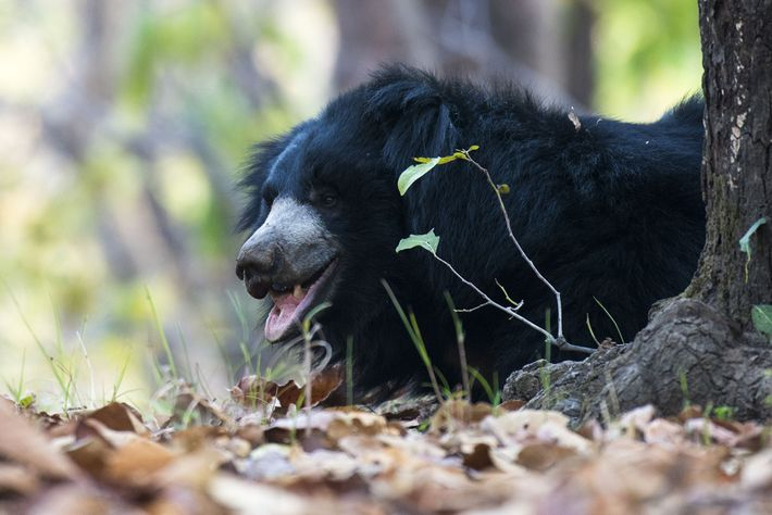 The reclusive sloth bear is normally seen alone. Their long, powerful claws make short work of ...
