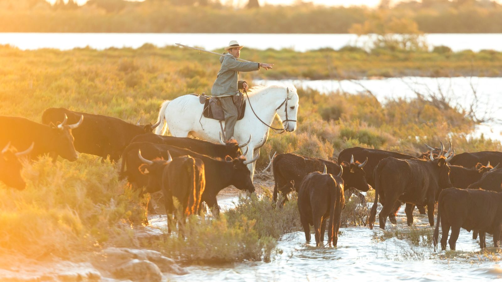 Gardian, cowboy and horseman of the Camargue with herd of bulls in The Marshland of The ...