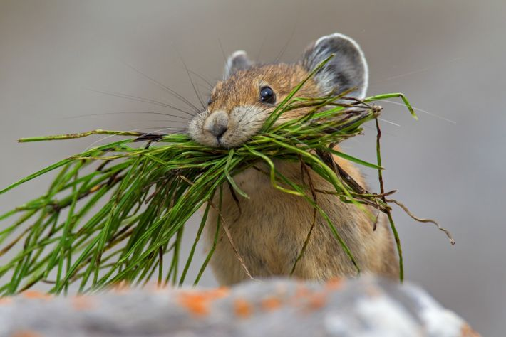 GettyImages-601068692 (pika)