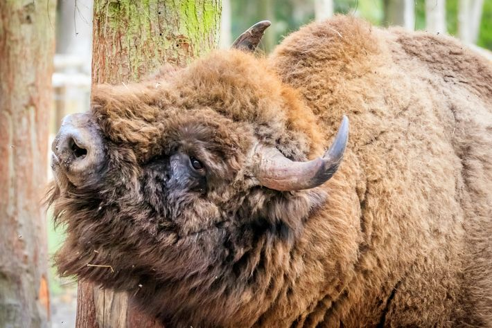 Partnering with the Wildwood Trust, Kent Wildlife Trustwill import and release European bison at a former ...