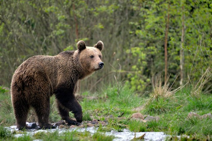 The Carpathian Mountains offer Europe's most extensive unfragmented forest, home to the continent's largest population of ...
