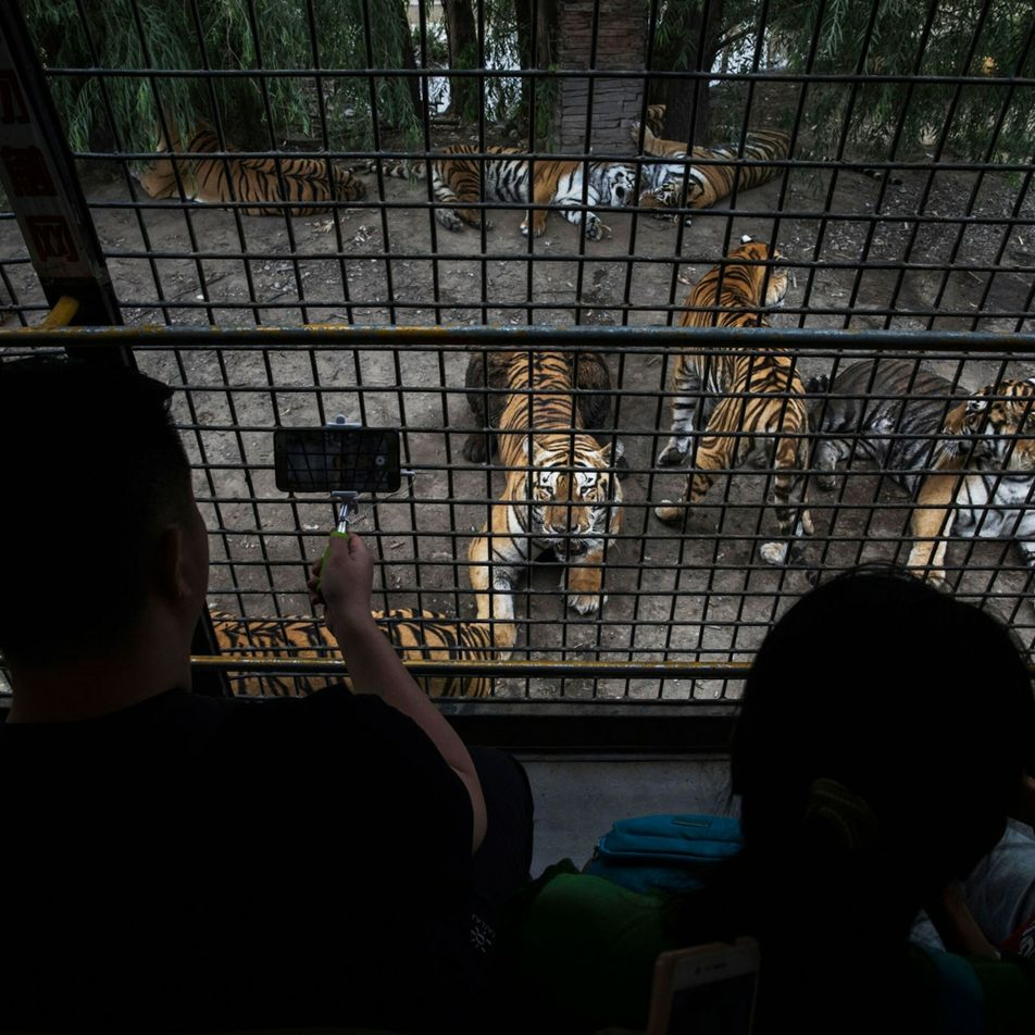 Controversy brews over leaked tiger breeding report