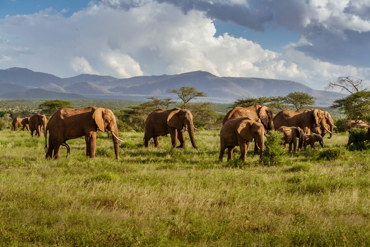 Amboseli National Park in southern Kenya is known for its large elephant numbers, with more than ...