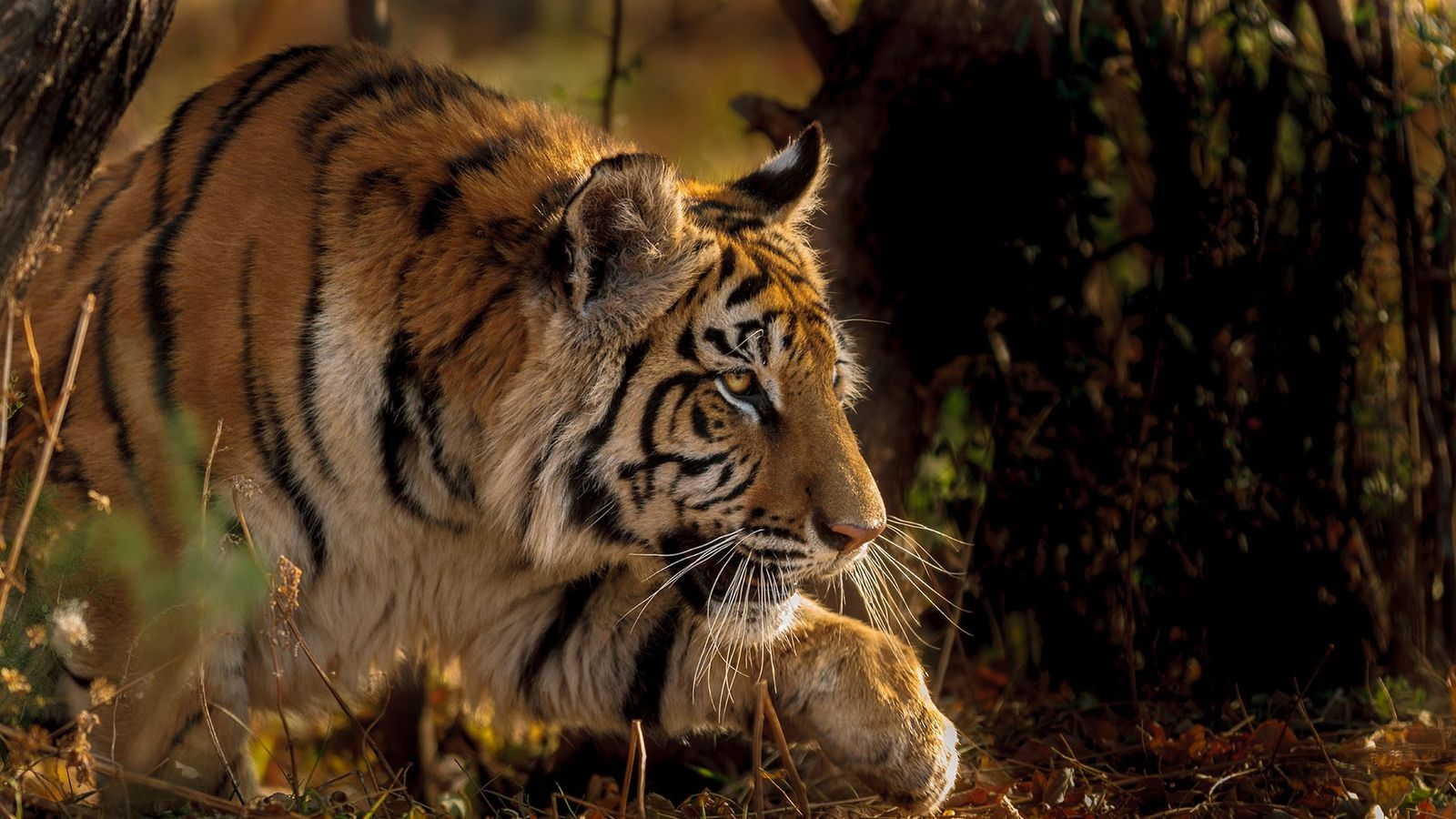 A fully-grown male Bengal tiger can reach 12ft from nose to tail.
