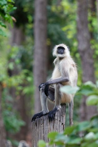 Grey langurs are the scouts of the wilderness and the tigers' mortal enemy.