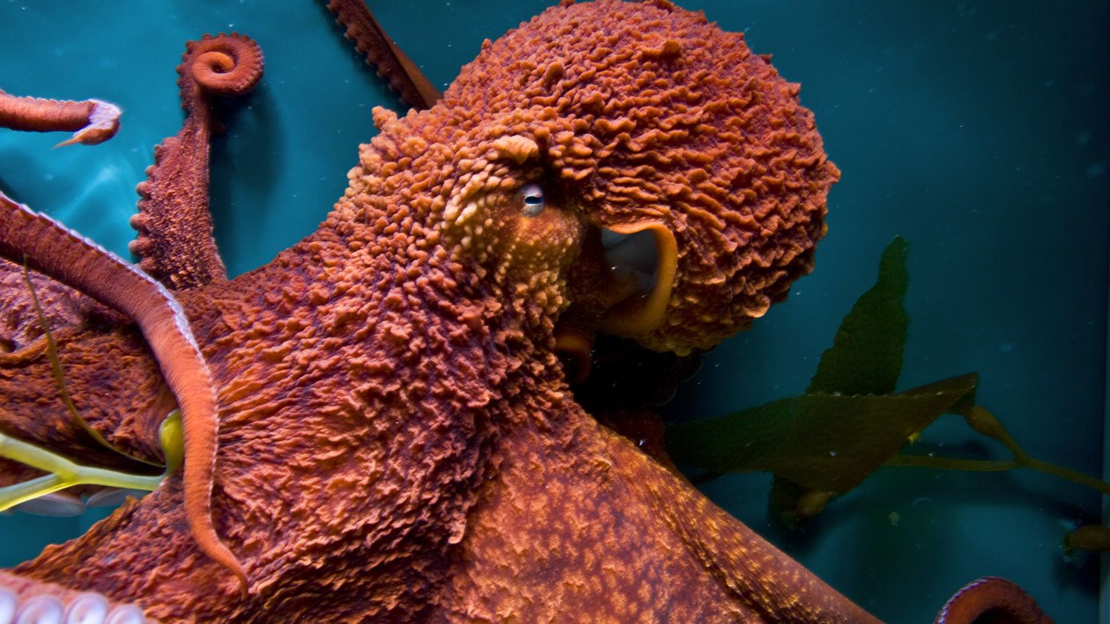 Giant Pacific octopuses have learned to open jars, mimic other octopuses, and solve mazes in lab ...