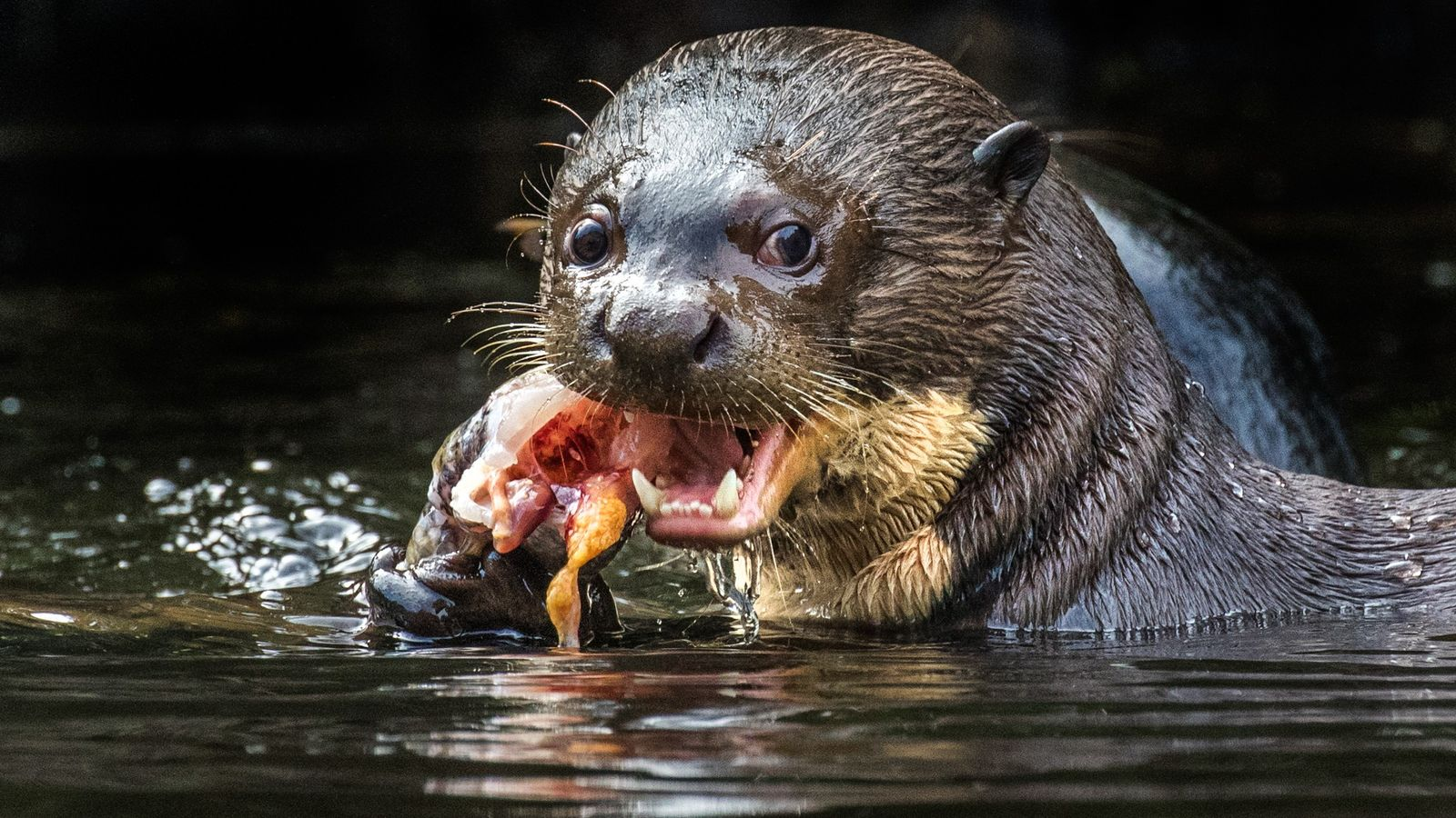 The giant river otter lives in the slow-moving rivers, lakes, and swamps of the Amazon basin. ...