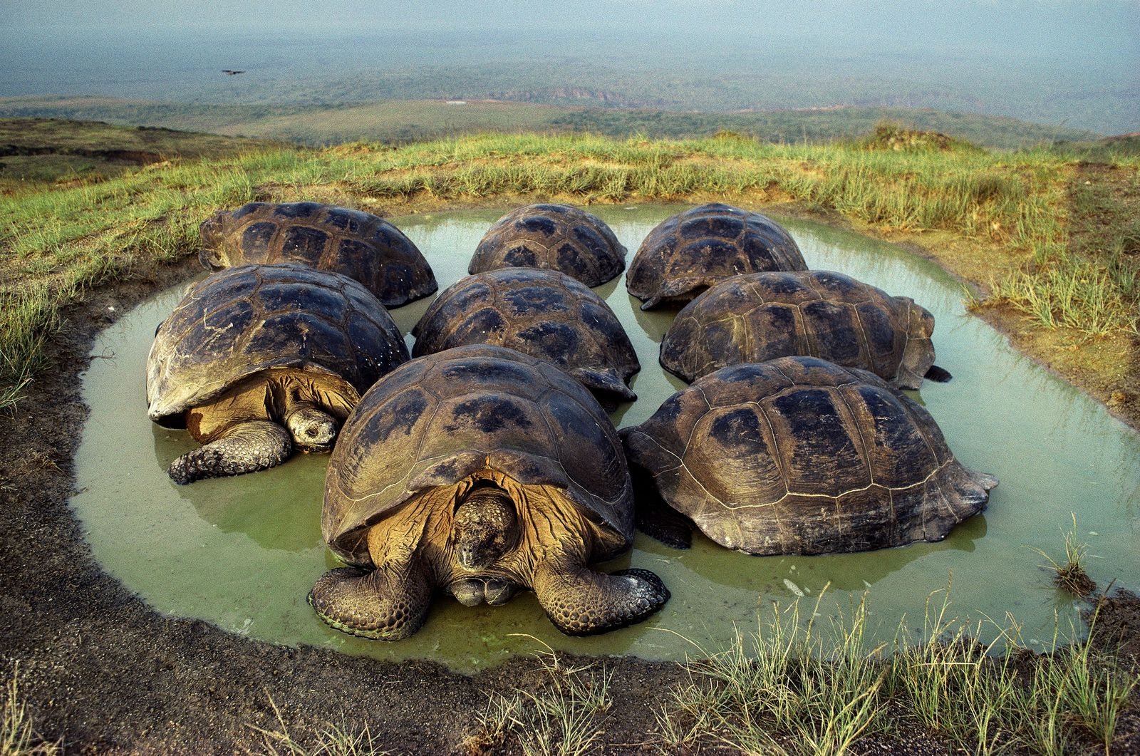 A group of giant tortoises wades in a seasonal pond on Alcedo Volcano, one of six ...