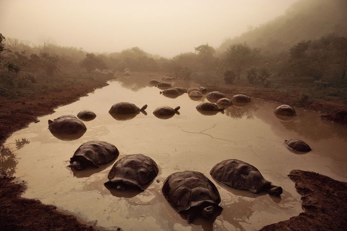 Giant tortoises gather at dawn on Isabela Island in the Galápagos archipelago in the Pacific. Darwin ...