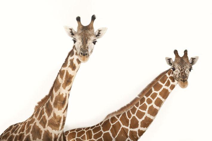 A reticulated giraffe ('Giraffa camelopardalis reticulata') and a Rothschild's giraffe ('Giraffa camelopardalis rothschildi'), two giraffe subspecies, ...