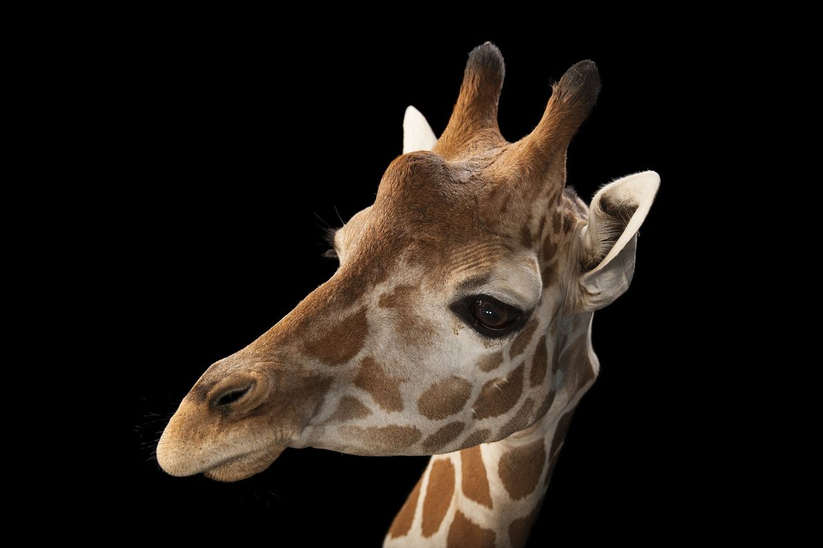 A reticulated giraffe ('Giraffa camelopardalis reticulata'), a subspecies of giraffe, photographed at Gladys Porter Zoo in ...