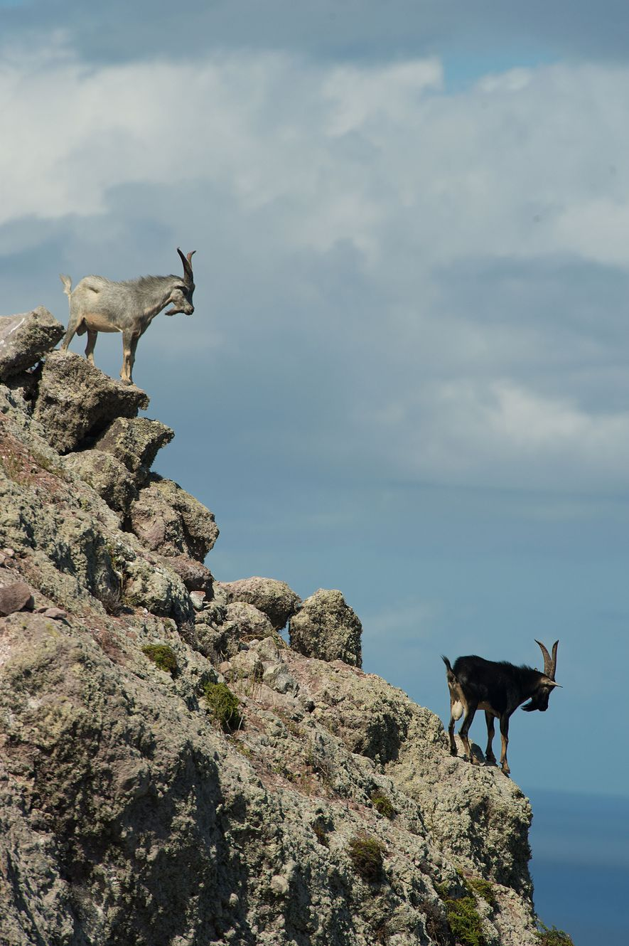 Goats on Redonda before they were airlifted to Antigua.