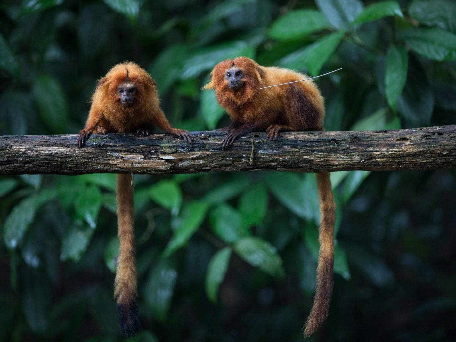 Endangered golden lion tamarins sit on a branch in Brazil's Atlantic Forest. Though their numbers have ...