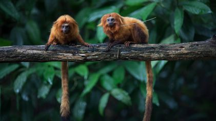 Pandemic threatens half-century of efforts to protect rare monkeys