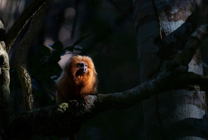 Until 2018, scientists didn't know yellow fever could sicken golden lion tamarins, but testing and population ...