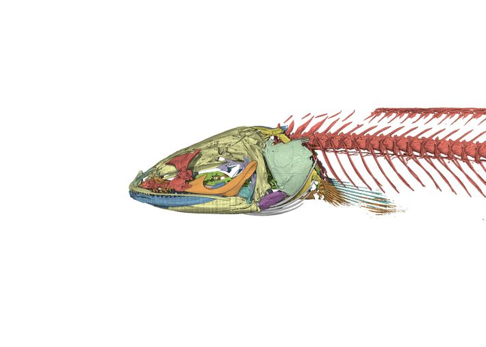 A computer-rendered image of the skeleton of the Gollum snakehead. Studies of the fish's anatomy help ...