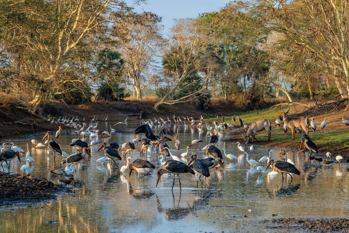 Late in the dry season, a remnant pool in the Mussicadzi River channel attracts a mob ...