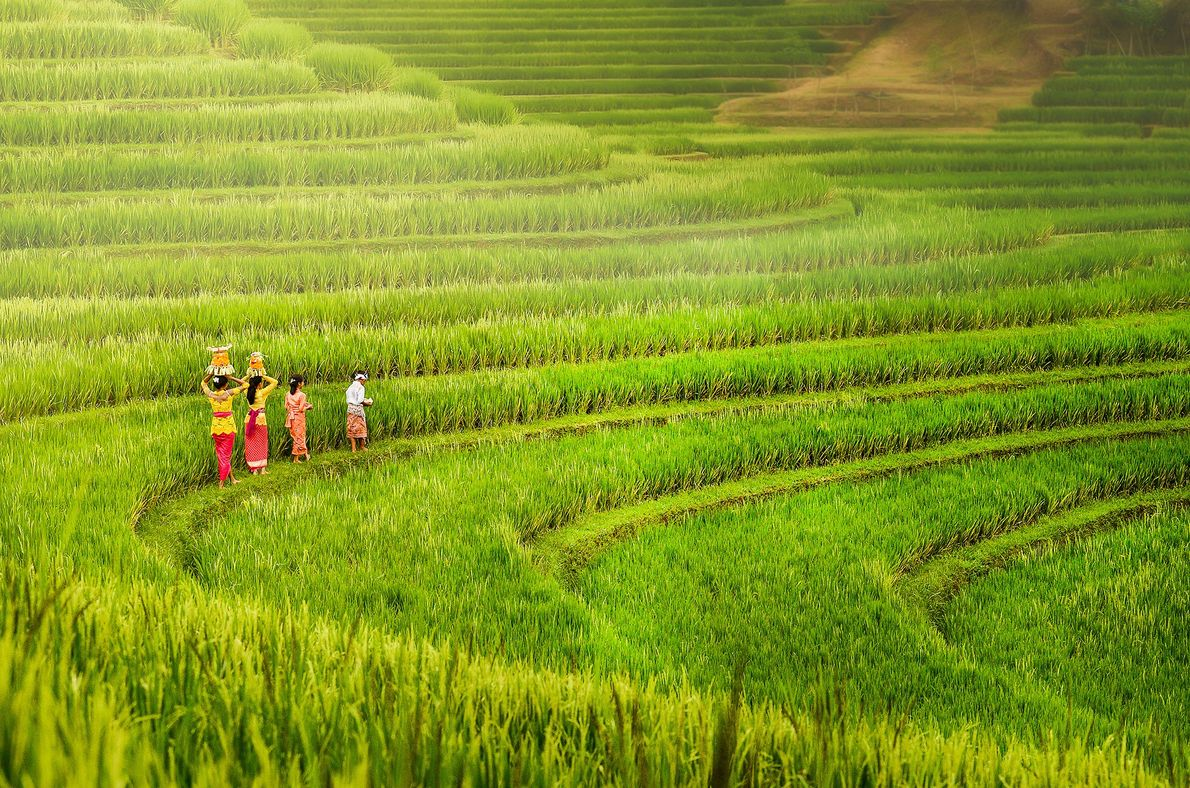 People of bali do their ritual in bali's rice field