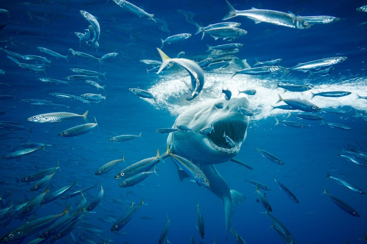 I spent the entire week on the live-aboard Nautilus Under Sea at Guadalupe Island diving with ...