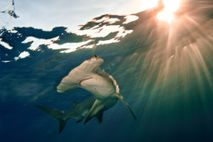 The great hammerhead shark (pictured, an animal swimming off the Bahamas) is critically endangered.