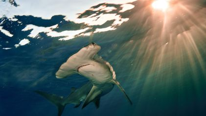 Oceanic shark and ray populations have collapsed by 70 percent over 50 years