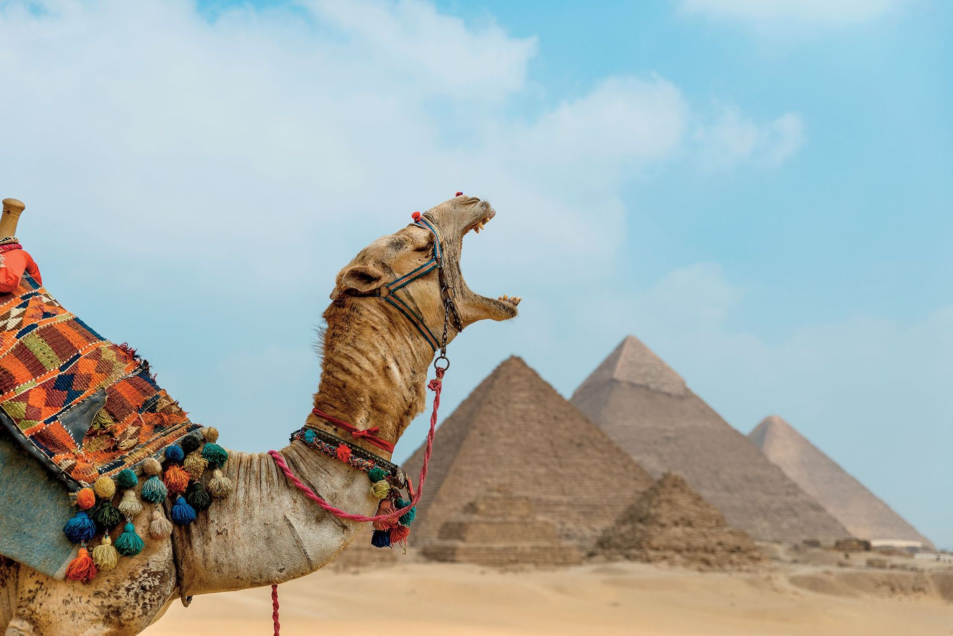 A yawning camel poses in front of the monumental Pyramids at Giza.