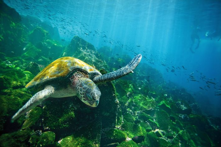 A green sea turtle navigates the azure waters surrounding the Galápagos Islands.