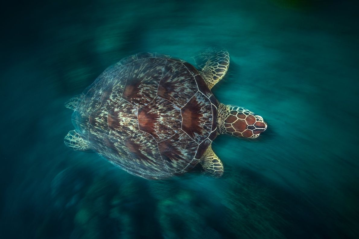 A photo of a green turtle taken in long exposure with flash of the second-curtain strobe ...