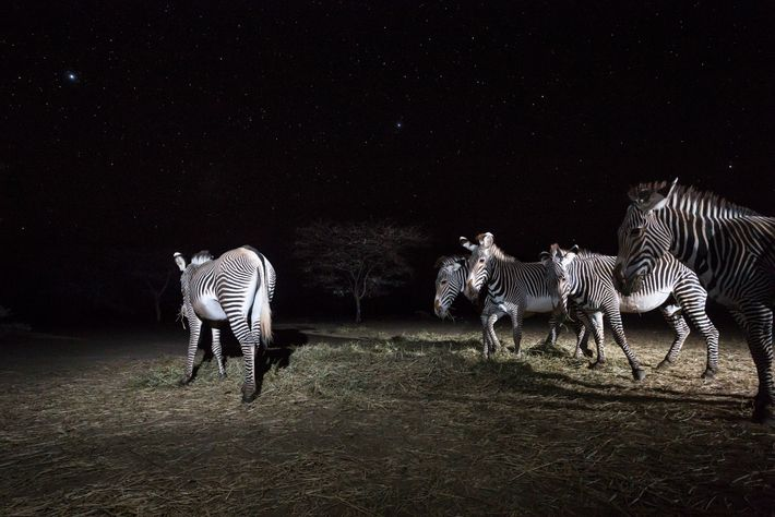 Grevy's zebras eat hay left for them by the Grevy's Zebra Trust. Drought has decreased the ...