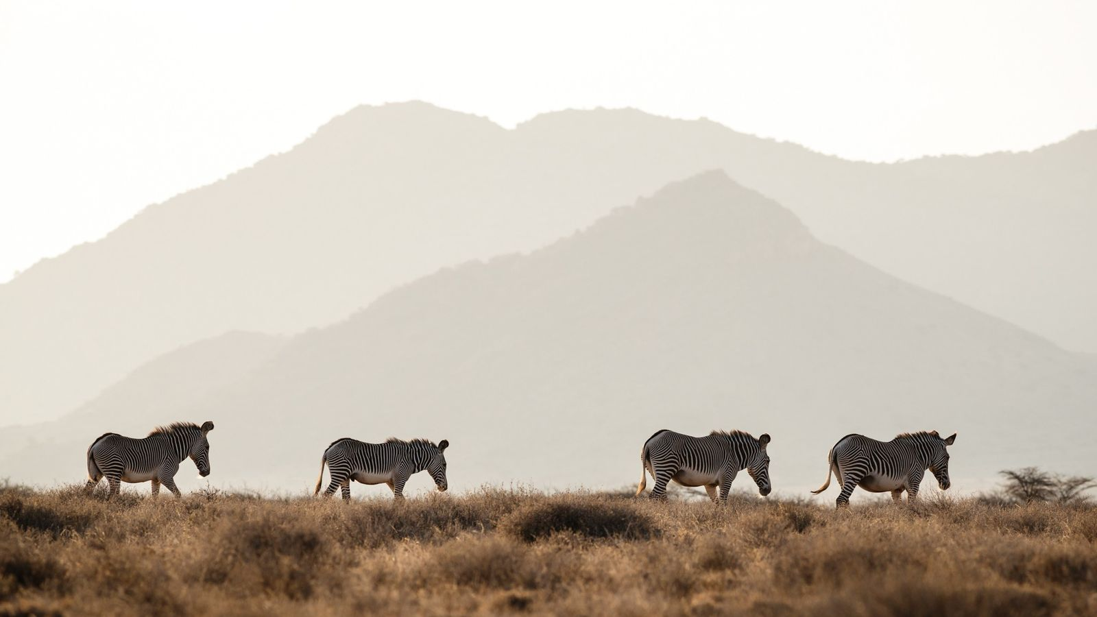 Endangered Grevy's zebras move through the plains of northern Kenya. There are only an estimated 2,400 ...