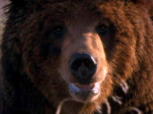 Grizzly Bear Attacks Prey