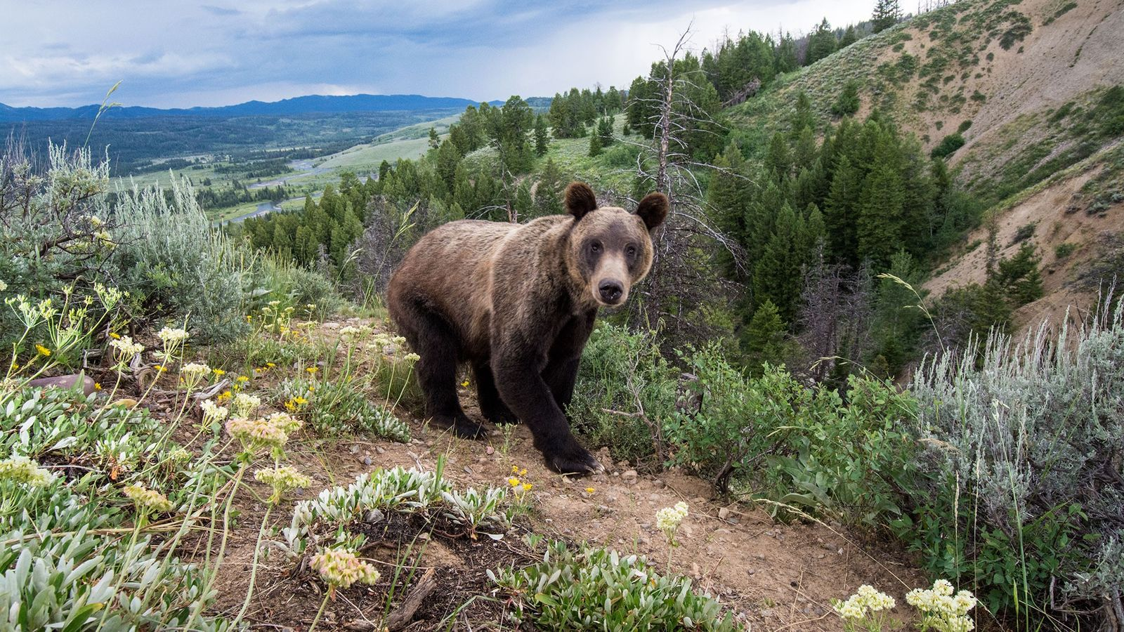 A remote camera captured this grizzly bear in Bridger-Teton National Forest in Wyoming. The state is ...