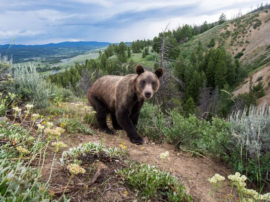 Jane Goodall Joins Wyoming Protestors in Buying Up Grizzly Hunt Tickets