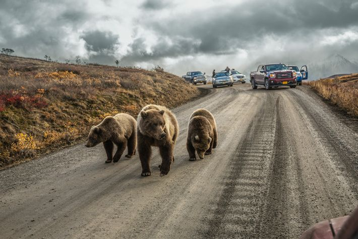 "In Alaska, a mother grizzly and her cubs cause a ""bear jam"" on Denali's 92-mile-long Park ..."