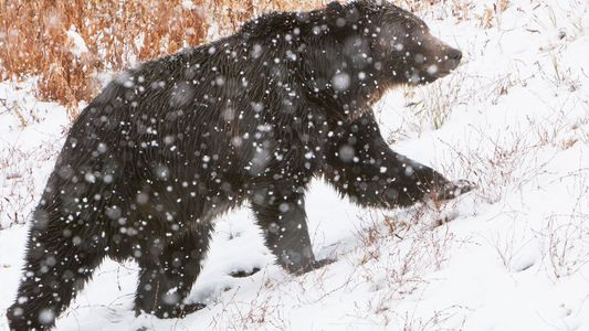 Court Blocks Controversial Grizzly Bear Hunt