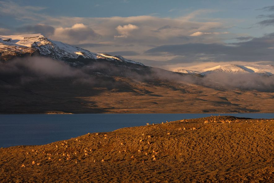 A herd of guanacos grazes on a hillside near lake Sarmiento in Torres del Paine National ...