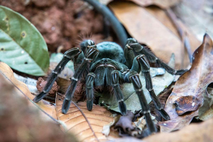 Goliath birdeater, a thriving population of which live in the Guyanese rainforest.