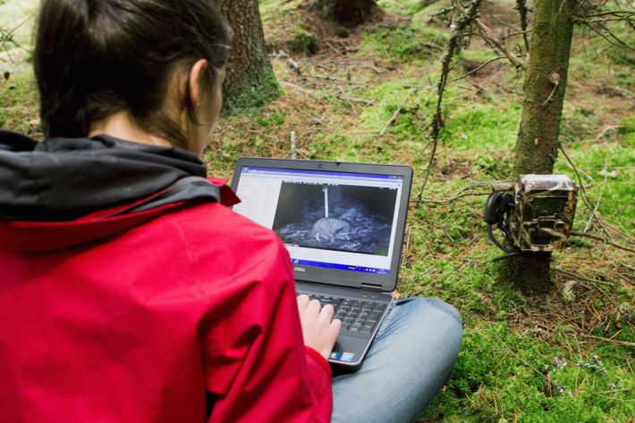 University of Oxford's WildCru researcher Kerry Kilshaw examines camera trap images of a suspected Scottish wildcat ...